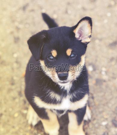shiba inu puppy vintage effect
