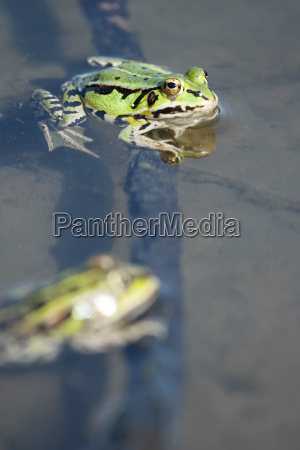 green frogs in lake