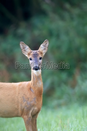 roe deer in the forest a