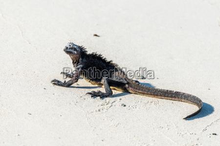 tier reptil eidechse strand schwarze schwarz