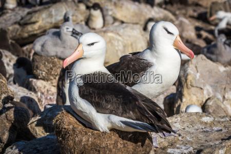paar schwarzbraunen albatros nisten in kolonie