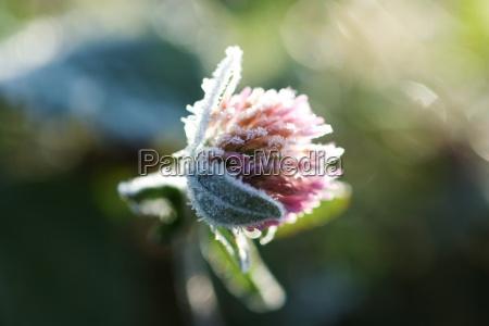 frostbedeckter klee