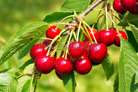 sweet cherry red berries on a