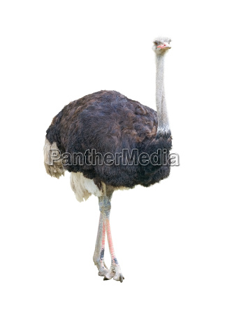 african two toed ostrich cutout