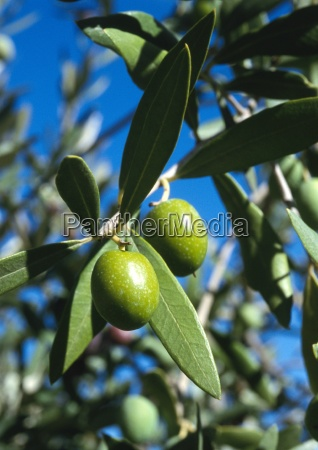 green olives growing on branch close