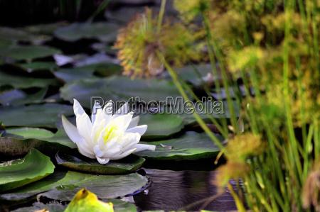 lilie blume auf einem dekorativen pool