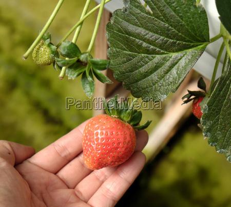 erdbeerfrucht von da lat dalat landwirtschaft