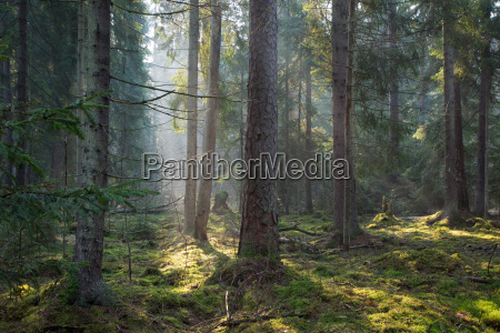sonnenstrahl betritt alten nadelholzstand des bialowieza