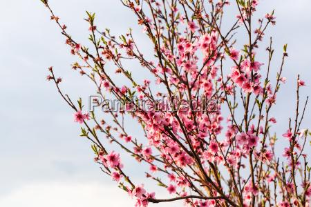 pink flowers on peach tree on