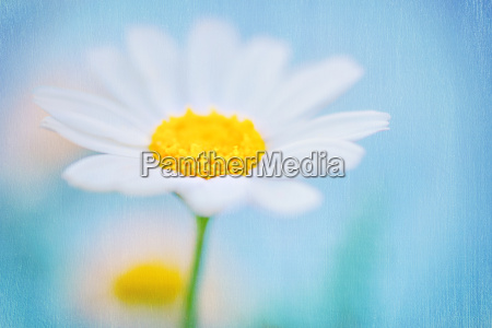 beautiful textured background of a daisy