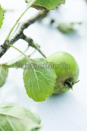 organic apple on branch