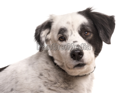 attentive dog in portrait