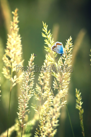 beautiful butterfly common blue polyommatus icarus