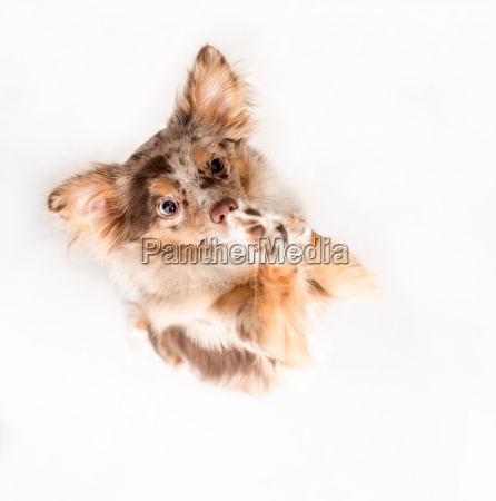 little dog stands on his hind