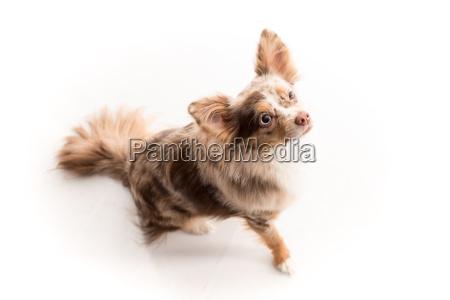 kleiner, hund, schaut, aufmerksam, und, macht - 16685092