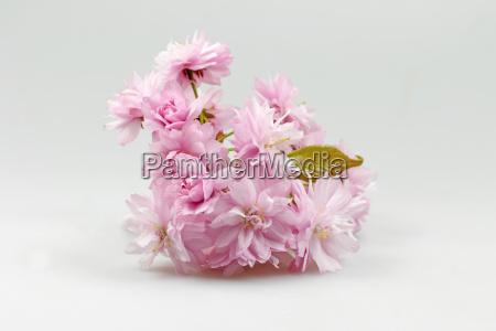 bluehende rosa kirsche zweig