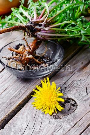 wurzeln der loewenzahnblume