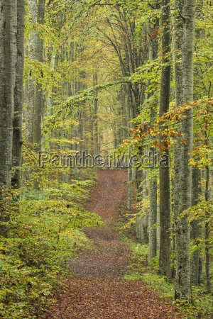 germany baden wuerttemberg beech forest forest