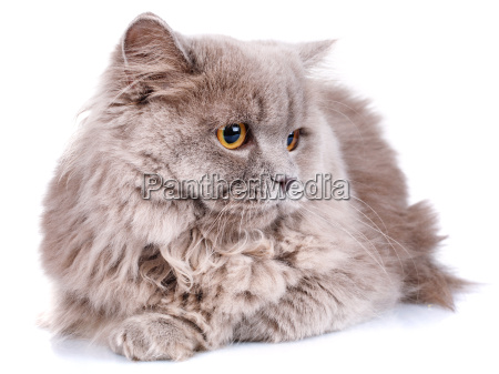 gray cat with yellow eyes