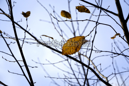 germany minden autumn leaves of a