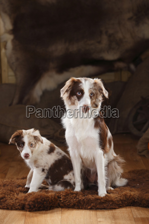 australian shepherd bitch and puppy red