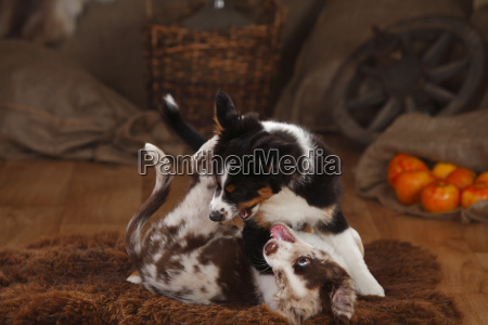 australian shepherd puppies red merle and