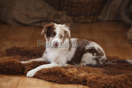 australian shepherd puppy red merle lying