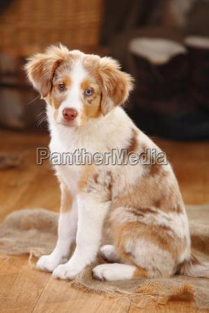 miniature australian shepherd puppy red merle