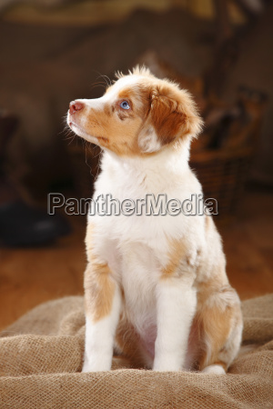 miniature australian shepherd puppy red merle