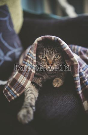 portrait der getigerte katze unter einer