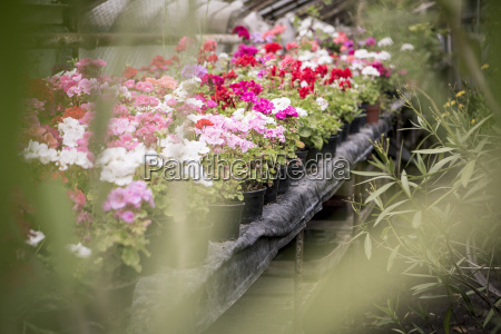 geranium im gewaechshaus von einer gaertnerei
