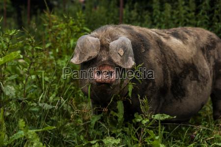 deutschland bayern otterfing domstic schwein alte