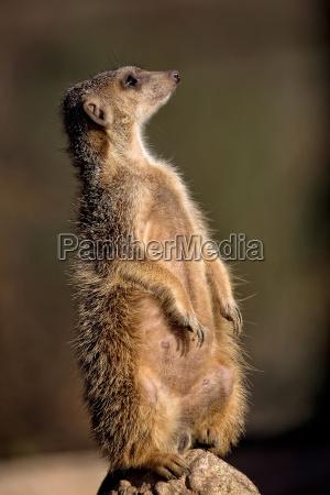 meerkat in the wild