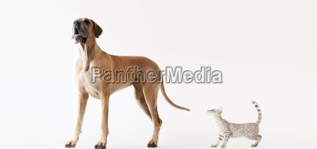 katze schleicht sich auf heulenden hund