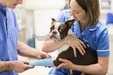 tieraerzte bandaging hund bein in tierarzt