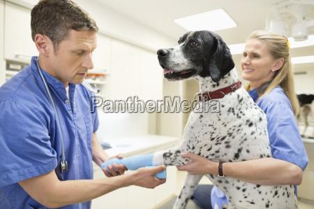 tierarzt untersuchen katze in tierarztpraxis