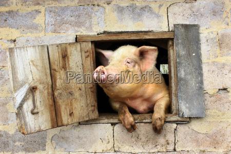 schwein schaut aus fenster des schuppens
