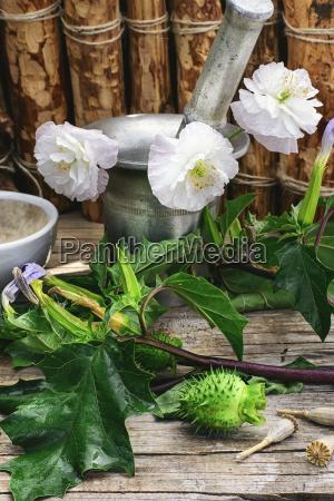 medicinal datura grass