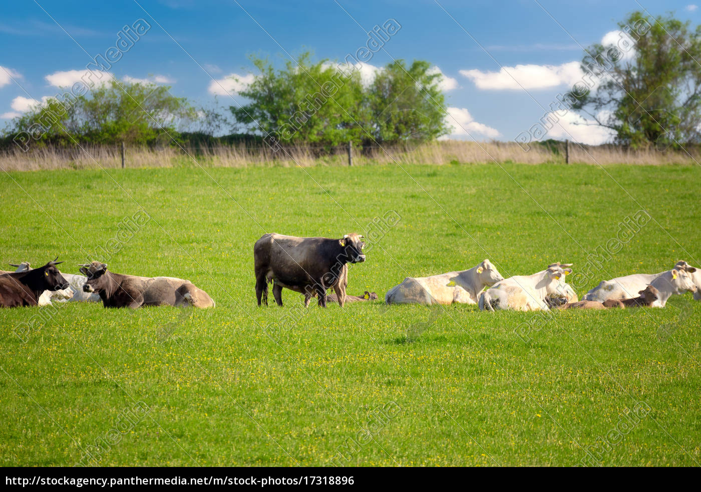 herd, of, cows, at, spring, green - 17318896