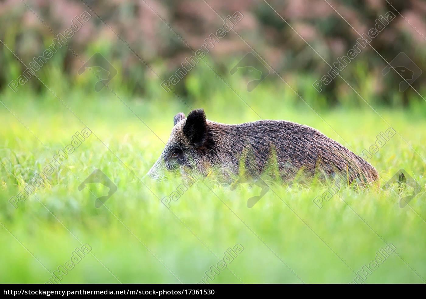 wildschweine, in, freier, wildbahn, - 17361530
