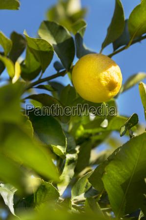 sicily noto organic lemon tree