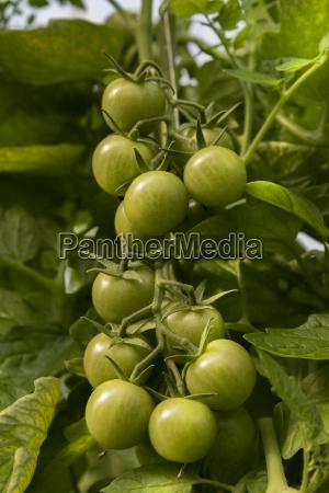 unripe tomatoes on plant