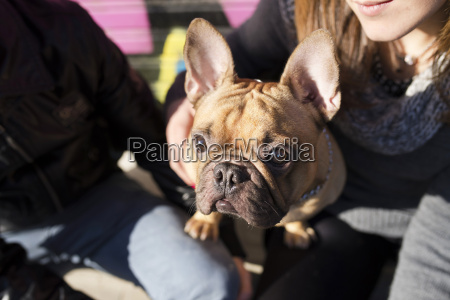 portrait of french bulldog looking up