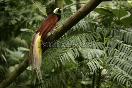 indonesia bali greater bird of paradise