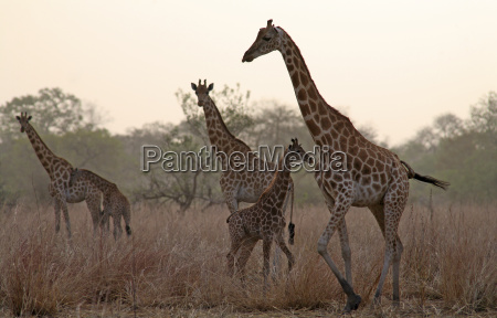 tschad, giraffen, mit, jungtieren, am, abend - 17384672