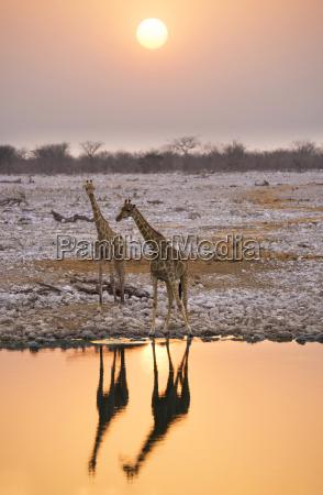 namibia etosha national park giraffes at