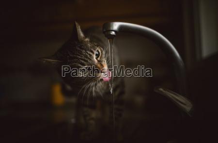 portraet von gestromt katze trinkwasser aus