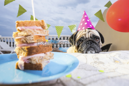 pug wearing party hat at table
