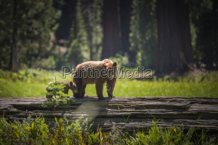 usa sequoia national park brown bear