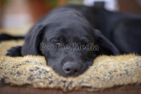 portrait of sleeping black labrador puppy